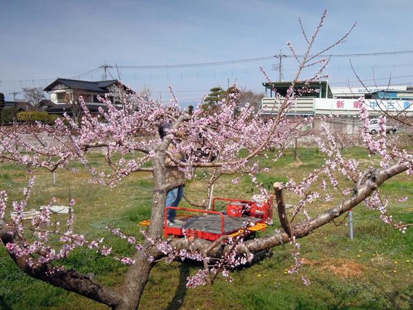 桃の花(2)2021.3.27