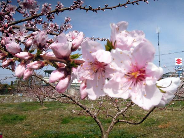 桃の花(1)2021.3.27
