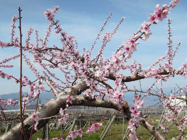 桃の花(3)2021.3.27